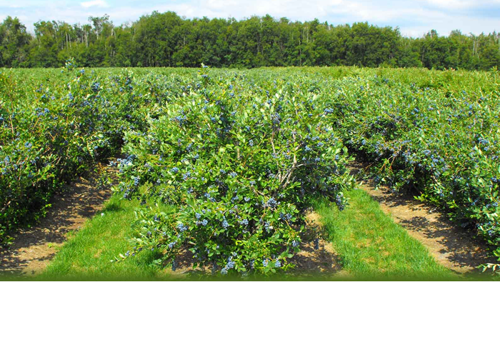 Blueberry Orchard
